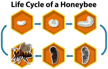 Life cycle of a honeybee illustration Illustration