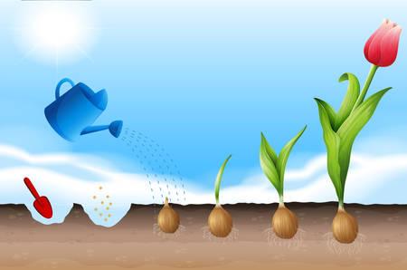 A Process of Planting Tulip illustration