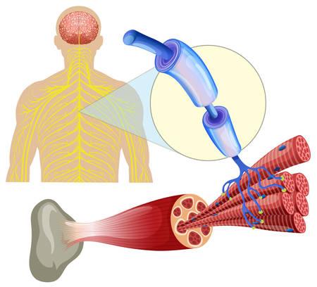 Human healthy muscle nerves  illustration Illustration