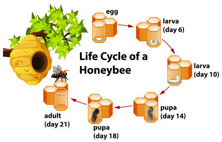 Life cycle of a honeybee illustration Stock Illustratie