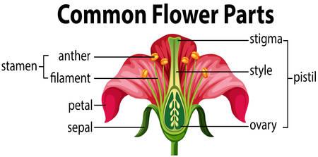A common flower parts illustration Illustration