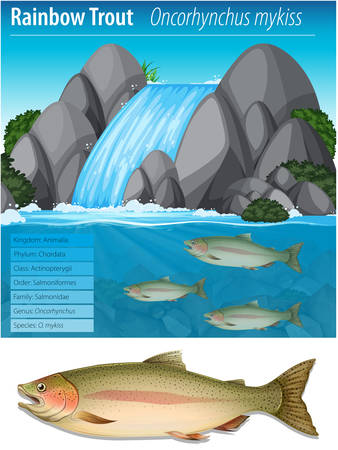 Rainbow trout information poster illustration Vectores