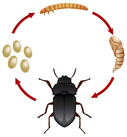 Life cycle of a mealwoem illustration Çizim