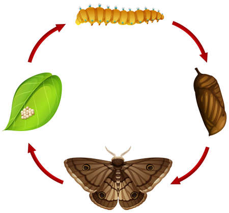 Moth life cycle concept illustration