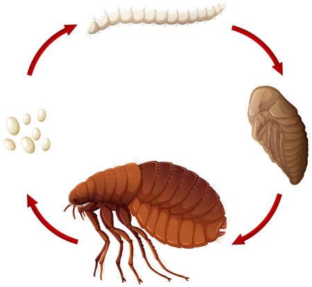 Ciclo de vida de una ilustración de pulgas.