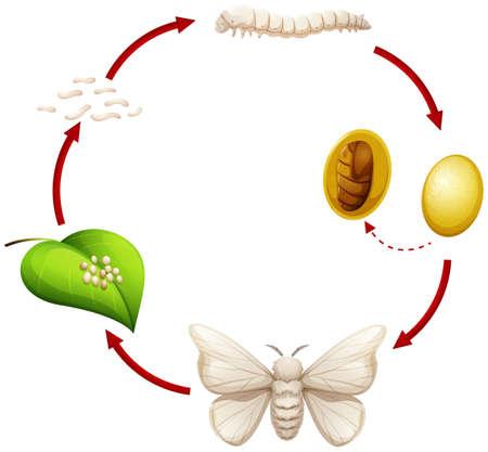 Lebenszyklus einer Seidenraupenillustration Vektorgrafik