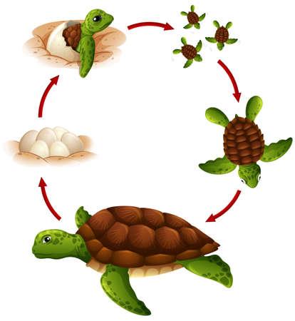 Levenscyclus van schildpad illustratie Vector Illustratie