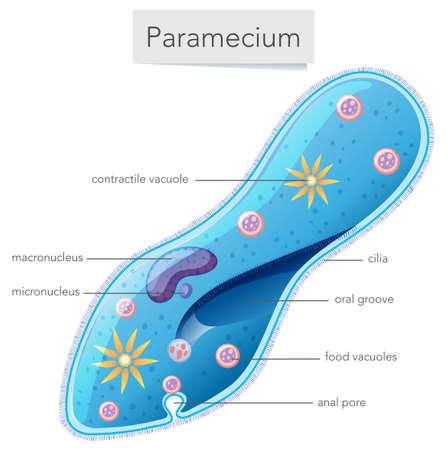 Paramecium bacteria science diagram  illustration Illustration