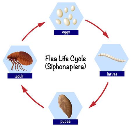 Science flea life cycle illustration