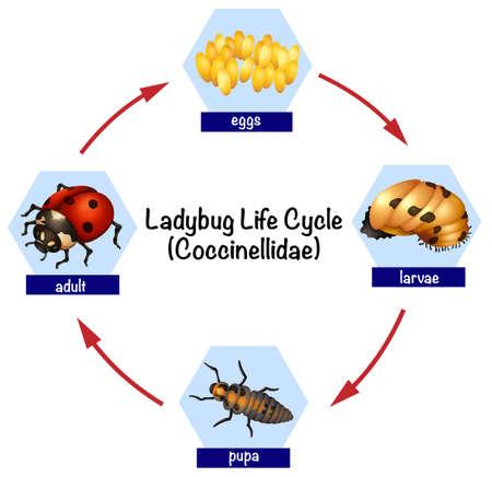 A ladybug life cycle illustration