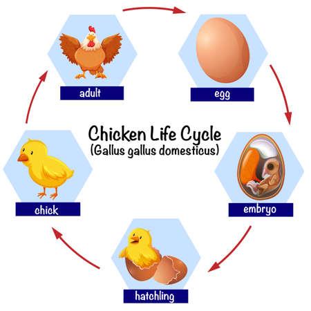 Illustration du cycle de vie du poulet scientifique