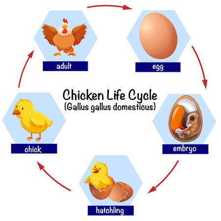 Science chicken life cycle illustration