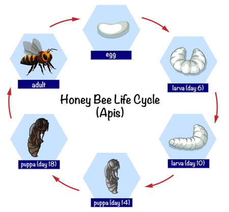 Honey bee life cycle illustration
