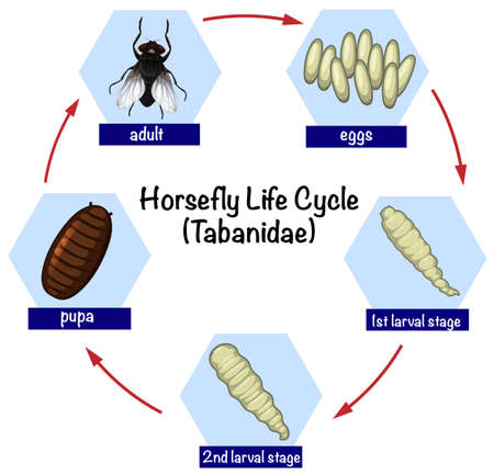 Science horsefly life cycle illustration