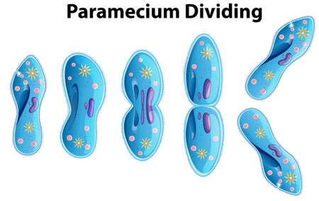 Paramécie divisant l'illustration du diagramme des bactéries Vecteurs