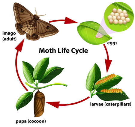 Moth life cycle diagram illustration Illustration