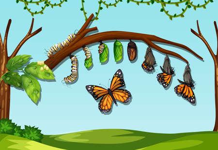 Eine Illustration des Lebenszyklus einer Schmetterlingsfliege