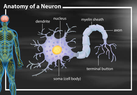Anatomy of a neuron illustration Иллюстрация