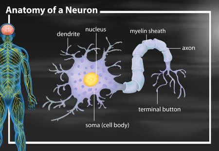 Anatomy of a neuron illustration