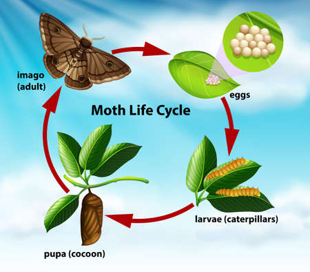 A moth life cycle illustration