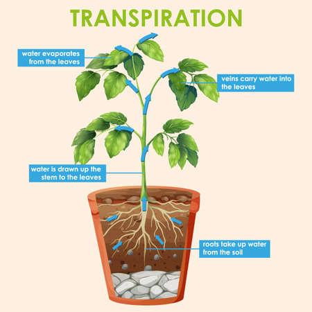 Diagram showing transpiration of plant illustration