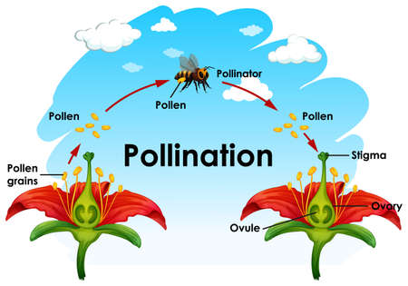 Diagram showing pollination with flower and bee illustration