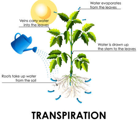 Diagram showing transpiration with plant and water illustration
