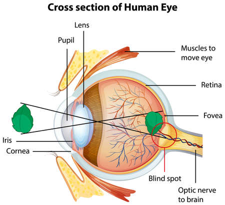 Diagram showing cross section of human eye illustration