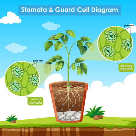Diagram showing stomata and guard cell illustration  イラスト・ベクター素材