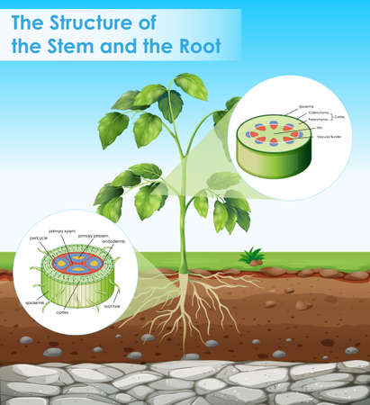 Diagram showing structure of stem and root illustration  イラスト・ベクター素材