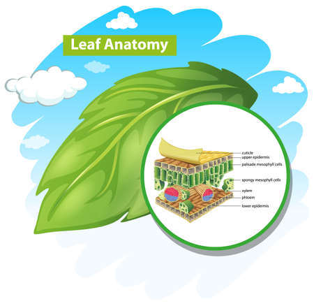 Diagram showing leaf anatomy illustration