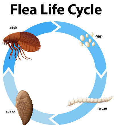 Diagram showing life cycle of flea illustration
