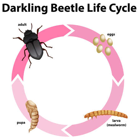 Diagram showing life cycle of darkling beetle illustration 일러스트