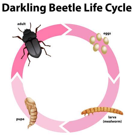 Diagram showing life cycle of darkling beetle illustration Illustration
