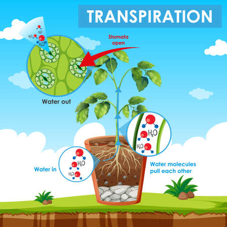 Diagram showing transpiration in plant illustration Vectores