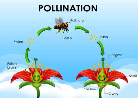 Diagramma che mostra l'illustrazione del ciclo di impollinazione