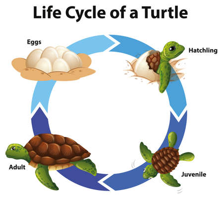 Diagram showing life cycle of sea turtle illustration