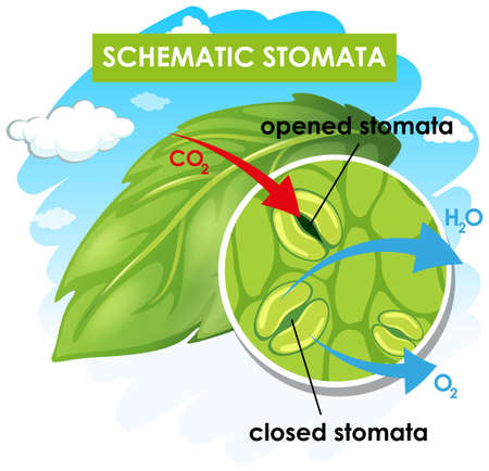 Diagram showing schematic stomata illustration Ilustrace