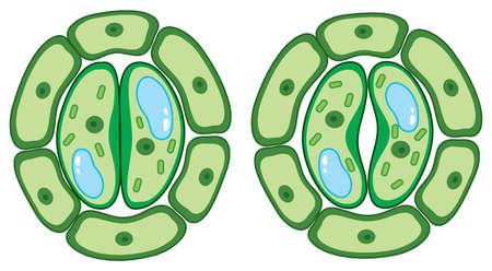 Diagram showing plant cells illustration Ilustrace