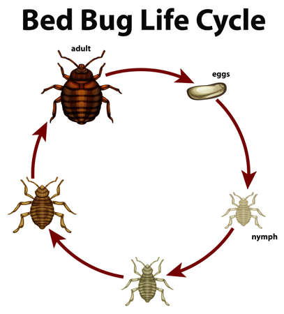 Diagram showing life cycle of bed bug illustration