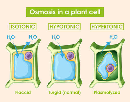 Diagram showing osmosis in plant cell illustration Ilustrace
