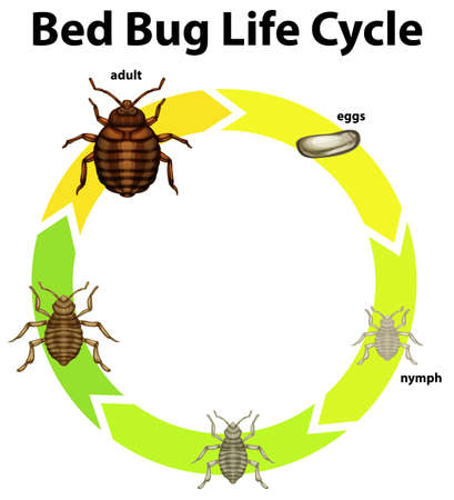 Diagram showing life cycle of bed bug illustration Stock Illustratie