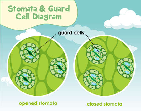 Diagram showing plant cell with stomata and guard cell illustration