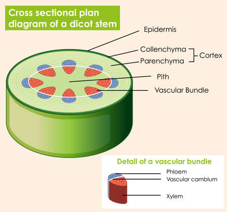 Diagram showing cross sectional plat of dicot stem illustration