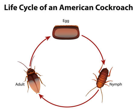 Diagram showing life cycle of cockroach illustration