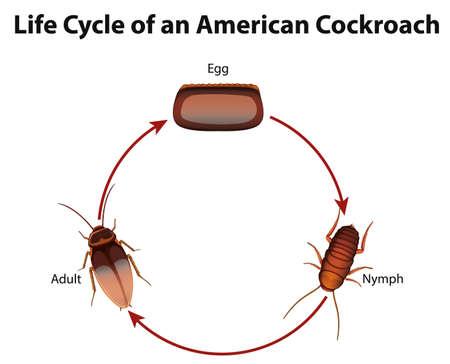 Diagramm, das den Lebenszyklus der Kakerlakenillustration zeigt