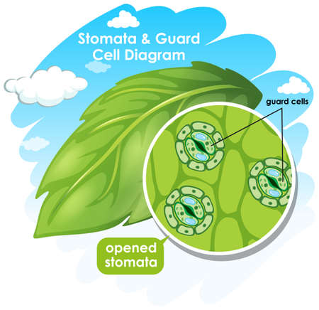 Diagram showing stomata and guard cell  illustration