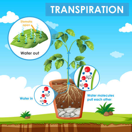 Diagram showing transpiration in plant illustration Illusztráció