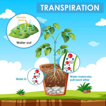 Diagramm mit Transpiration in Pflanzendarstellung Vektorgrafik