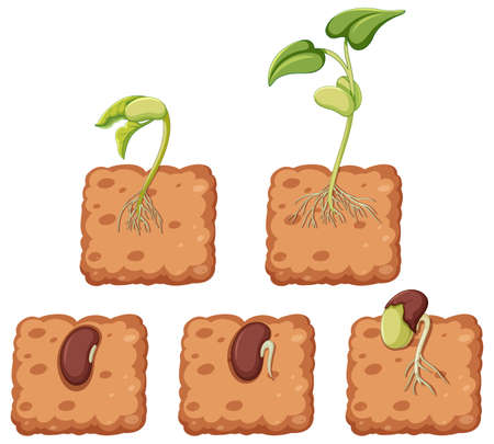 Diagram showing plant growing from seed illustration